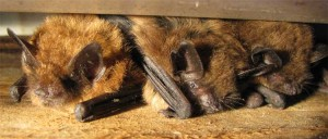 Brown_bats-big